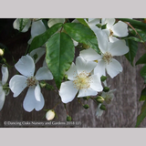 Vines ~ Rosa mulliganii, Single White Species Rose, Climbing Rose ~ Dancing Oaks Nursery and Gardens