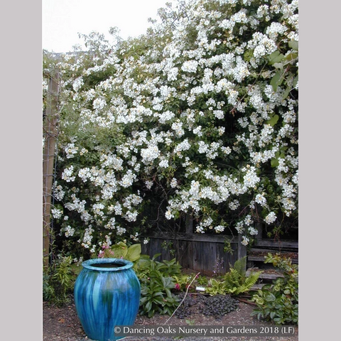 Vines ~ Rosa mulliganii, Single White Species Rose, Climbing Rose ~ Dancing Oaks Nursery and Gardens ~ Retail Nursery ~ Mail Order Nursery