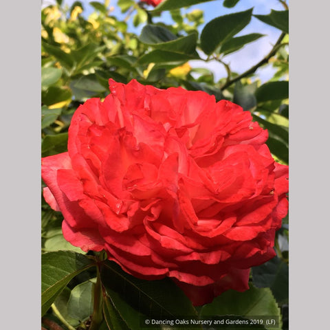 Shrubs ~ Rosa 'Antique 89' (syn. R. 'Antike 89'), Antique Climbing Rose ~ Dancing Oaks Nursery and Gardens ~ Retail Nursery ~ Mail Order Nursery