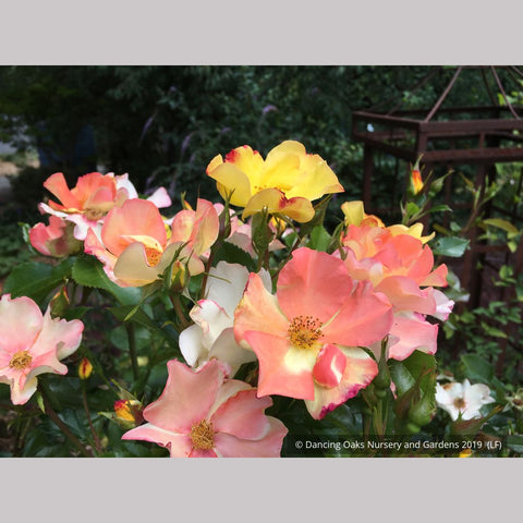 Shrubs ~ Rosa 'Flutterbye', Shrub Rose ~ Dancing Oaks Nursery and Gardens