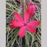Bulbs & Tubers ~ Schizostylis (Hesperantha) coccinea, Cape Lily or Crimson Flag ~ Dancing Oaks Nursery and Gardens