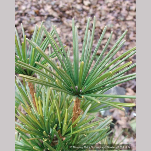 Trees ~ Sciadopitys verticillata, Umbrella Pine ~ Dancing Oaks Nursery and Gardens ~ Retail Nursery ~ Mail Order Nursery
