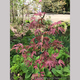 Trees ~ Acer palmatum 'Shirazz', Shirazz Variegated Japanese Maple ~ Dancing Oaks Nursery and Gardens