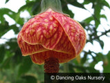 Shrubs ~ Abutilon 'Tiger Eye', Flowering Maple ~ Dancing Oaks Nursery and Gardens ~ Retail Nursery ~ Mail Order Nursery