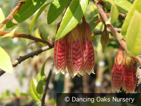 Shrubs ~ Agapetes 'Ludgvan Cross' ~ Dancing Oaks Nursery and Gardens ~ Retail Nursery ~ Mail Order Nursery
