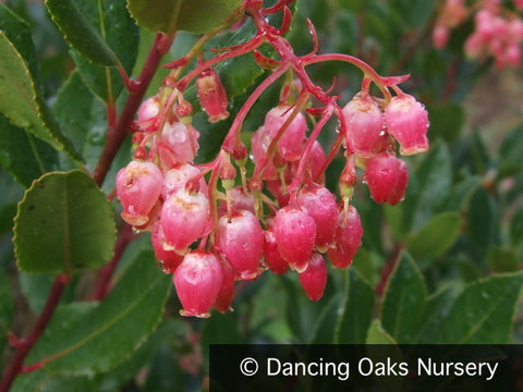 Shrubs - Arbutus Unedo 'Oktoberfest', Strawberry Tree