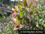 Shrubs ~ Arctostaphylos x 'Sunset', Manzanita ~ Dancing Oaks Nursery and Gardens ~ Retail Nursery ~ Mail Order Nursery