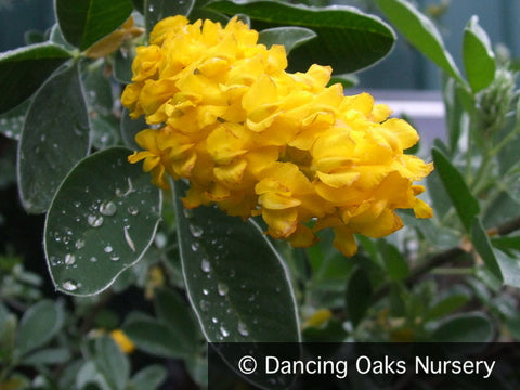 Shrubs ~ Argyrocytisus battandieri, Pineapple Broom ~ Dancing Oaks Nursery