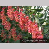 Shrubs ~ Berberis jamesiana, James' Barberry ~ Dancing Oaks Nursery and Gardens ~ Retail Nursery ~ Mail Order Nursery