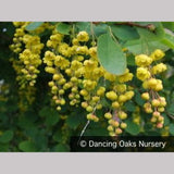 Shrubs ~ Berberis jamesiana, James' Barberry ~ Dancing Oaks Nursery and Gardens