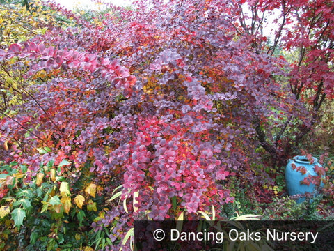 Shrubs ~ Berberis thunbergii 'Royal Cloak', Barberry ~ Dancing Oaks Nursery and Gardens ~ Retail Nursery ~ Mail Order Nursery