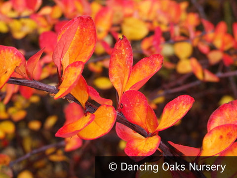 Shrubs ~ Berberis thunbergii 'Tara', Emerald Carousel Barberry ~ Dancing Oaks Nursery and Gardens ~ Retail Nursery ~ Mail Order Nursery