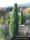 Shrubs ~ Buxus sempervirens 'Graham Blandy', Upright Boxwood ~ Dancing Oaks Nursery and Gardens ~ Retail Nursery ~ Mail Order Nursery