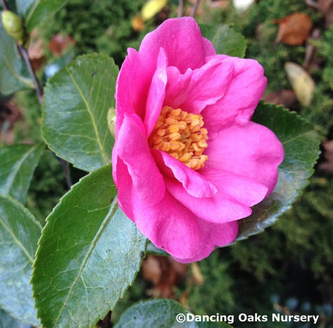 Shrubs ~ Camellia 'Winter's Joy' ~ Dancing Oaks Nursery