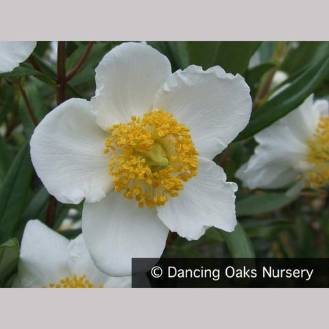 Shrubs ~ Carpenteria californica 'Elizabeth', Bush Anemone ~ Dancing Oaks Nursery and Gardens ~ Retail Nursery ~ Mail Order Nursery