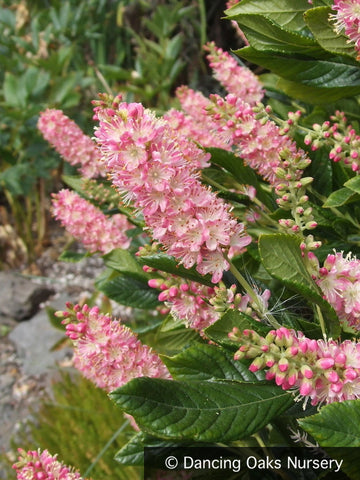 Shrubs ~ Clethra alnifolia 'Ruby Spice', Summersweet ~ Dancing Oaks Nursery and Gardens ~ Retail Nursery ~ Mail Order Nursery