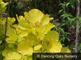 Shrubs ~ Cotinus coggygria 'Golden Spirit'®, Golden Smoke Tree ~ Dancing Oaks Nursery and Gardens ~ Retail Nursery ~ Mail Order Nursery