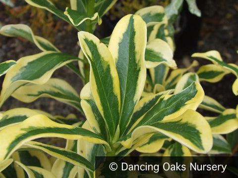 Shrubs ~ Daphne odora 'Maejima', Winter Daphne ~ Dancing Oaks Nursery and Gardens ~ Retail Nursery ~ Mail Order Nursery
