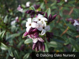 Shrubs ~ Daphne tangutica (Retusa Group) ~ Dancing Oaks Nursery and Gardens ~ Retail Nursery ~ Mail Order Nursery