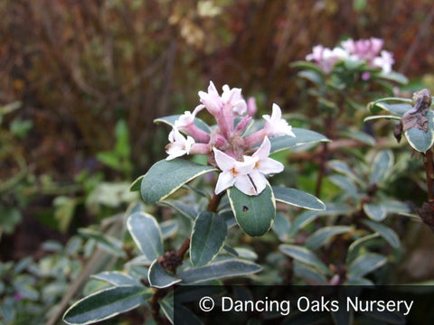 Shrubs ~ Daphne transatlantica 'Summer Ice', Caucasian Daphne ~ Dancing Oaks Nursery and Gardens ~ Retail Nursery ~ Mail Order Nursery