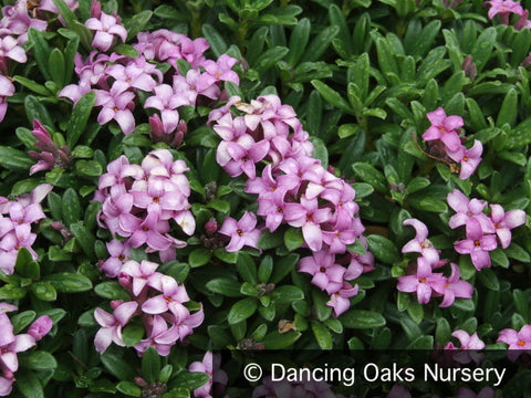 Ground Covers ~ Daphne x medfordensis 'Lawrence Crocker' ~ Dancing Oaks Nursery and Gardens ~ Retail Nursery ~ Mail Order Nursery