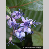 Shrubs ~ Dichroa febrifuga, Chinese Quinine ~ Dancing Oaks Nursery and Gardens ~ Retail Nursery ~ Mail Order Nursery