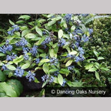 Shrubs ~ Dichroa febrifuga, Chinese Quinine ~ Dancing Oaks Nursery and Gardens