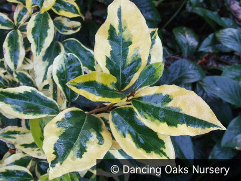 Shrubs ~ Elaeagnus x ebbingei 'Gilt Edge' ~ Dancing Oaks Nursery