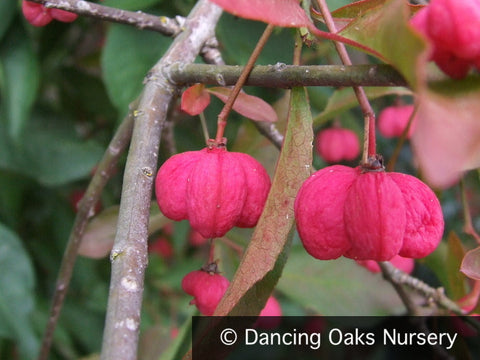 Shrubs - Euonymus Alatus F. Apterus, Spindle Tree