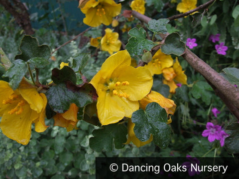 Shrubs ~ Fremontodendron californicum, Flannel Bush ~ Dancing Oaks Nursery and Gardens ~ Retail Nursery ~ Mail Order Nursery