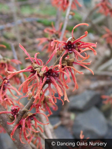 Shrubs ~ Hamamelis x intermedia 'Feuerzauber', Witch Hazel ~ Dancing Oaks Nursery