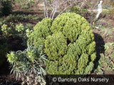 Shrubs ~ Hebe cupressoides 'Boughton Dome' ~ Dancing Oaks Nursery and Gardens ~ Retail Nursery ~ Mail Order Nursery
