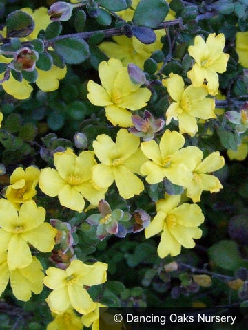 Shrubs ~ Hibbertia aspera, Rough Guinea Flower ~ Dancing Oaks Nursery
