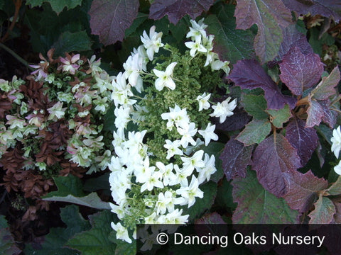 Shrubs ~ Hydrangea quercifolia 'Snow Queen'( syn. 'Flemygea'), Oak Leaf Hydrangea ~ Dancing Oaks Nursery and Gardens ~ Retail Nursery ~ Mail Order Nursery