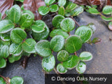 Ground Covers ~ Lonicera crassifolia, Evergreen Honeysuckle ~ Dancing Oaks Nursery
