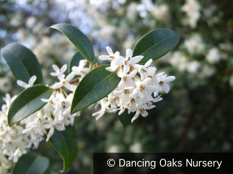 Shrubs ~ Osmanthus  x burkwoodii ~ Dancing Oaks Nursery