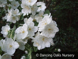 Shrubs ~ Philadelphus 'Innocence', Mock Orange ~ Dancing Oaks Nursery