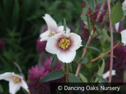 Shrubs ~ Philadelphus madrensis, Desert Mock Orange ~ Dancing Oaks Nursery
