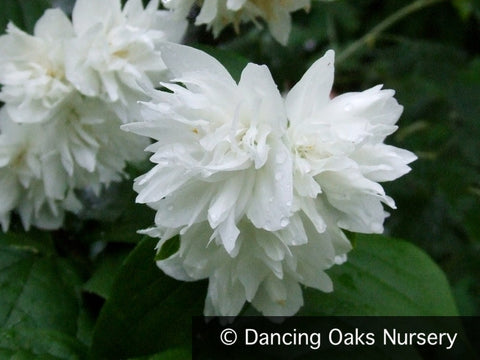Shrubs ~ Philadelphus x 'Minnesota Snowflake', Mock Orange ~ Dancing Oaks Nursery