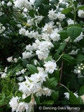 Shrubs ~ Philadelphus x 'Minnesota Snowflake', Mock Orange ~ Dancing Oaks Nursery and Gardens ~ Retail Nursery ~ Mail Order Nursery