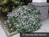 Shrubs ~ Prostanthera cuneata, Alpine Mint Bush ~ Dancing Oaks Nursery