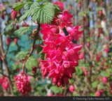 Shrubs ~ Ribes sanguineum, Flowering Currant ~ Dancing Oaks Nursery and Gardens ~ Retail Nursery ~ Mail Order Nursery