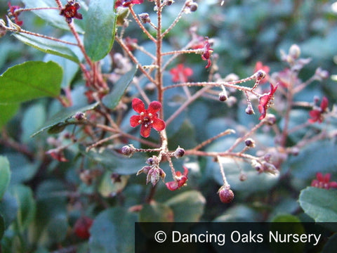 Shrubs ~ Ribes viburnifolium, Evergreen Currant ~ Dancing Oaks Nursery