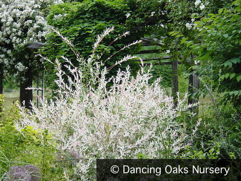 Shrubs ~ Salix integra 'Hakuro Nishiki', Dappled Willow ~ Dancing Oaks Nursery and Gardens ~ Retail Nursery ~ Mail Order Nursery