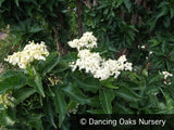 Shrubs ~ Sambucus nigra 'Pyramidalis', Columnar Elderberry or European Elder ~ Dancing Oaks Nursery and Gardens ~ Retail Nursery ~ Mail Order Nursery