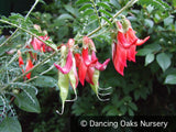 Shrubs ~ Sutherlandia montana, Mountain Balloon Pea ~ Dancing Oaks Nursery