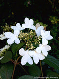 Shrubs ~ Viburnum 'Summer Snowflake' ~ Dancing Oaks Nursery