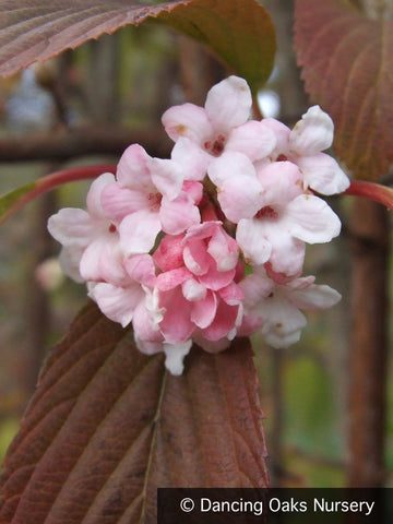 Shrubs ~ Viburnum x bodnantense 'Dawn', Fragrant Dawn Viburnum ~ Dancing Oaks Nursery and Gardens ~ Retail Nursery ~ Mail Order Nursery
