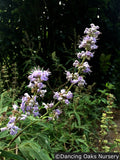 Shrubs ~ Vitex agnus-castus, Chaste Tree ~ Dancing Oaks Nursery