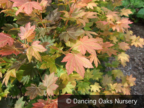 Trees ~ Acer circinatum 'Del's Dwarf', Dwarf Vine Maple ~ Dancing Oaks Nursery